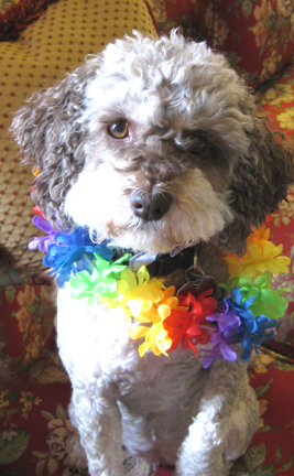 One of the advantages of having your tropical spring break at home is that your pets can come along! Truffle was happy to participate in ours.......