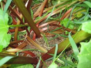 rhubarb stalksweb