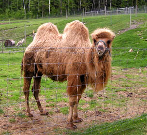 A Bactrian Camel (Courtesy of Tregellys Fiber Farm)