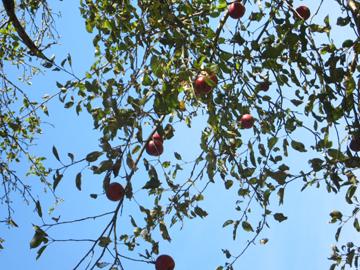 applesontreeweb